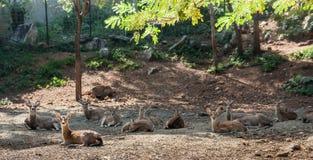 Ciervos en barbecho Foto de archivo libre de regalías