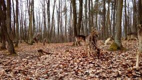 Ciervos en barbecho Fotografía de archivo libre de regalías