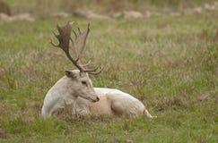 Ciervos en barbecho blancos Fotos de archivo libres de regalías