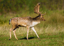 Ciervos en barbecho Buck Strutting Fotografía de archivo