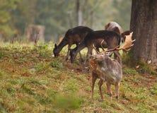 Ciervos en barbecho con las hembras Fotografía de archivo