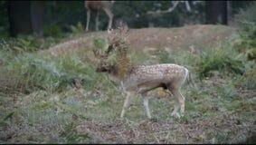 Ciervos en barbecho, ciervos, dama del Dama almacen de metraje de vídeo