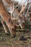 Ciervos en barbecho [dama del Dama] Foto de archivo