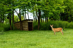 Ciervos en barbecho (dama del Dama) Foto de archivo libre de regalías