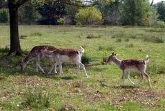 Ciervos en barbecho de hinds y un cervatillo Foto de archivo libre de regalías