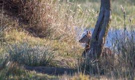 Ciervos en barbecho de reclinación Imagen de archivo libre de regalías