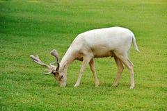 Ciervos en barbecho del albino Imágenes de archivo libres de regalías
