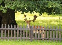Ciervos en barbecho detrás de la cerca Imágenes de archivo libres de regalías
