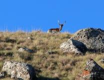 Ciervos en barbecho en el acantilado silueteado contra el cielo azul en Suráfrica imagen de archivo