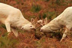 Ciervos en barbecho en celo Foto de archivo libre de regalías