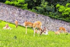 Ciervos en barbecho en el parque en abadía en Austria Fotografía de archivo libre de regalías