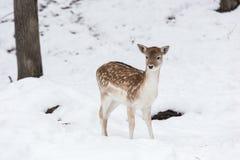 Ciervos en barbecho en la nieve Imagen de archivo libre de regalías