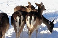 Ciervos en barbecho en la nieve Fotografía de archivo