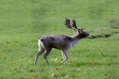 Ciervos en barbecho en otoño Fotos de archivo libres de regalías