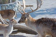 Ciervos en barbecho europeos Fotos de archivo libres de regalías