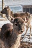 Ciervos en barbecho jovenes imágenes de archivo libres de regalías