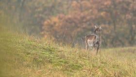 Ciervos en barbecho juveniles Fotos de archivo libres de regalías