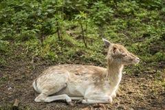 Ciervos en barbecho en los ciervos del bosque en el parque foto de archivo libre de regalías