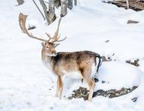 Ciervos en barbecho masculinos de Majestuous en la nieve fotos de archivo