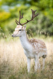 Ciervos en barbecho masculinos en el bosque Fotografía de archivo libre de regalías
