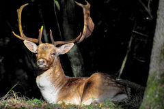 Ciervos en barbecho masculinos maduros Fotografía de archivo libre de regalías