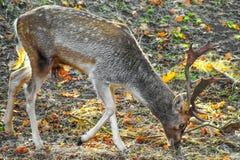 Ciervos en barbecho masculinos que pastan en el bosque Fotografía de archivo libre de regalías