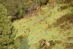 Ciervos en barbecho en Nueva Zelanda Imágenes de archivo libres de regalías