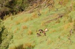 Ciervos en barbecho en Nueva Zelanda Imagen de archivo libre de regalías