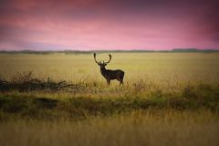 Ciervos en barbecho en prado en el amanecer Fotos de archivo