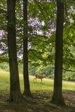 Ciervos en barbecho que pastan al borde de ciervos en barbecho del bosque en el prado República Checa Fotos de archivo