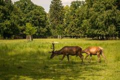 Ciervos en barbecho que pastan en las astas Foto de archivo libre de regalías