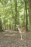 Ciervos en barbecho salvajes en el bosque negro, Alemania Imagenes de archivo