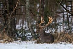 Ciervos en barbecho y x28; Dama del Dama y x29; Un ciervo en barbecho hermoso miente en la nieve Imagenes de archivo