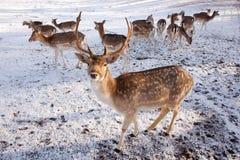 Ciervos en barbecho y grupo masculinos de hembras en la nieve Imagen de archivo
