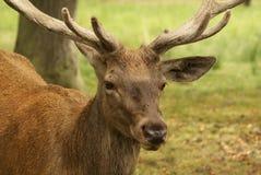 Ciervos en bosque Fotografía de archivo