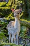 Ciervos en bosque Imagen de archivo libre de regalías