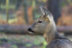Ciervos en bosque fotos de archivo libres de regalías