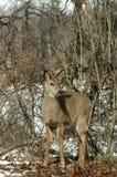 Ciervos en bosque hivernal Imagenes de archivo