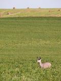 Ciervos en campo de la alfalfa Fotografía de archivo libre de regalías