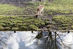 Ciervos en Den Haag Foto de archivo libre de regalías