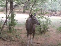 Ciervos en el bosque Fotografía de archivo