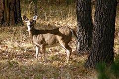 Ciervos en el bosque Foto de archivo