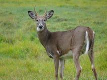 Ciervos en el bosque canadiense en Ontario Fotos de archivo libres de regalías
