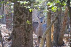 Ciervos en el bosque curioso fotos de archivo