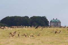 Ciervos en el bosque de Dyrehave al norte de Copenhague imágenes de archivo libres de regalías