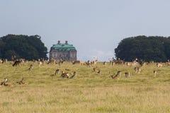 Ciervos en el bosque de Dyrehave al norte de Copenhague foto de archivo libre de regalías