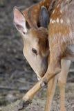 Ciervos en el bosque del verano Fotos de archivo libres de regalías