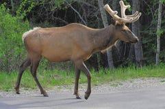Ciervos en el camino. Imagen de archivo