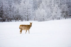 Ciervos en el campo Imagen de archivo