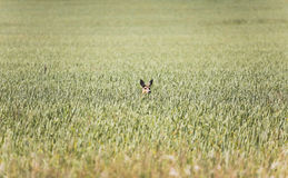 Ciervos en el campo del trigo Imagen de archivo